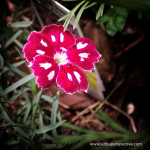 dianthus, pinks