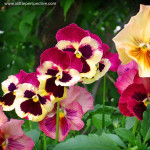 pansies, the happy flower
