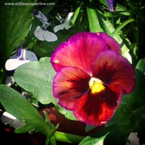 magenta pansy with lobelia