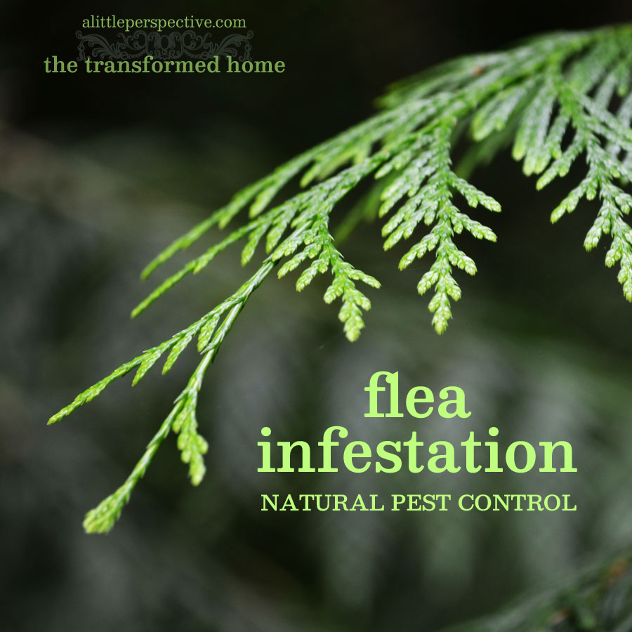 flea infestation natural pest control
