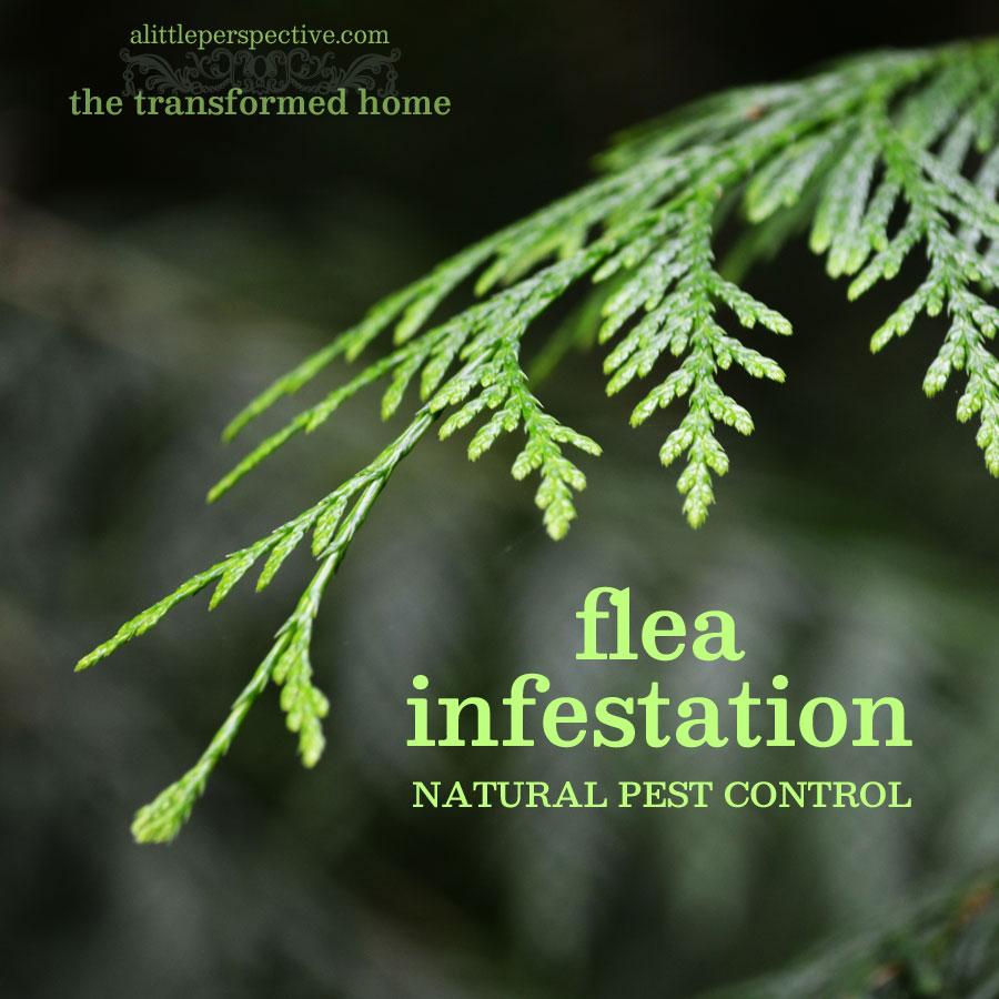 flea infestation natural pest control | the transformed home at alittleperspective.com