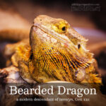bearded dragon | alittleperspective.com